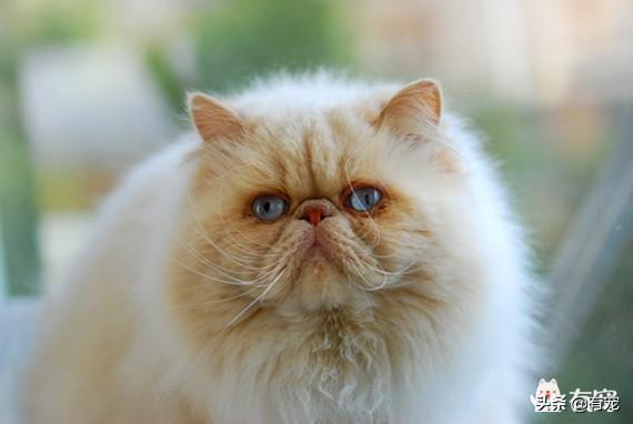 波斯猫图片,如何擦掉波斯猫满脸的泪痕?
