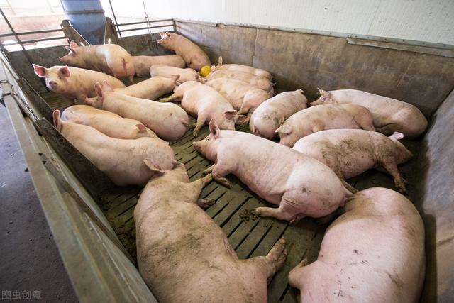 """生猪价格暴跌,和最近专业化猪企加速""""牛猪""""的出栏率量"""