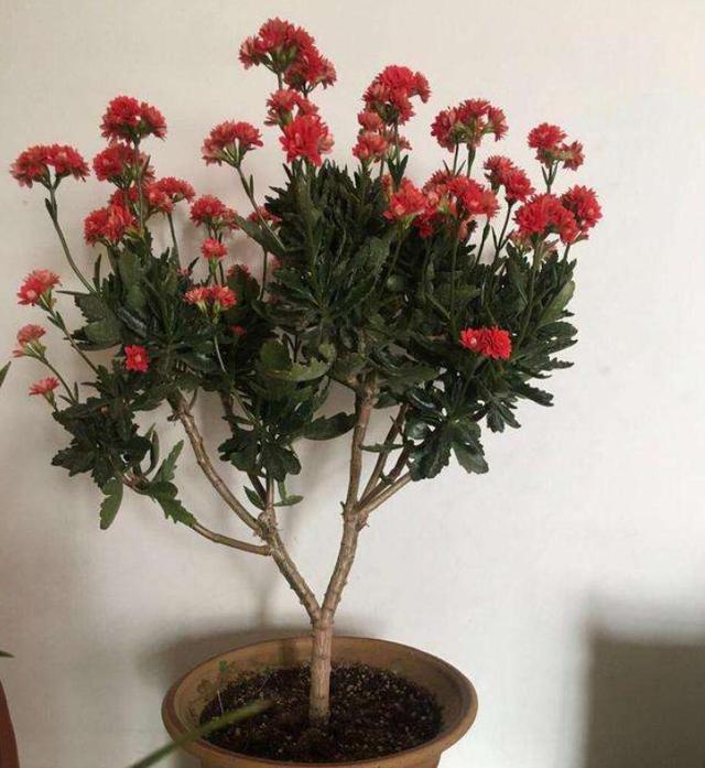"""高手养长寿花的4点""""干货"""",将它养成""""巨无霸"""",开成长寿花树"""