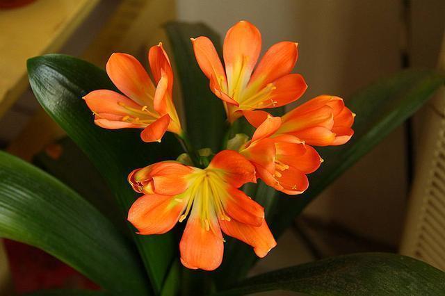 """养护""""正人兰"""",学会这""""4个""""手段,叶子油亮开花众!"""