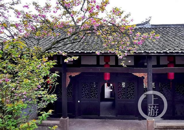 出墙:百年古樱红花出墙 千树樱花笑