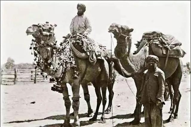 """百万骆驼大军,""""拿下""""澳大利亚"""