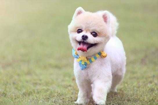 家里养什么狗好(十大适合家养的大型犬)插图(4)