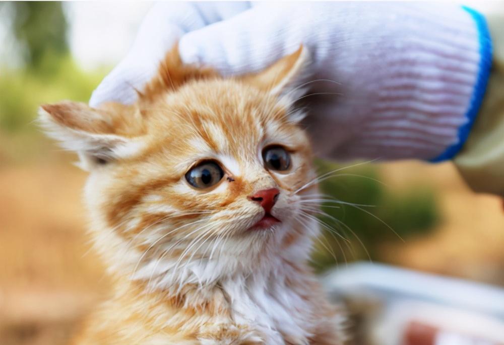 买猫要买几个月才合适(买猫前要注意什么和准备什么)插图(5)