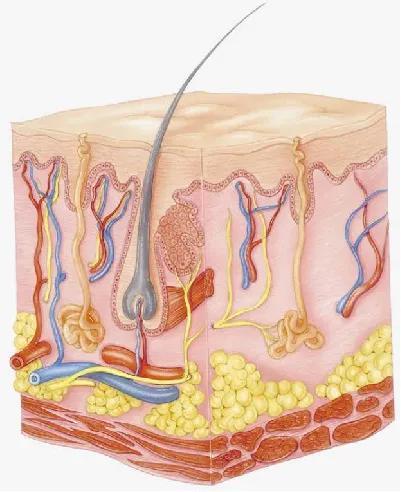 皮肤有哪些功能(皮肤有哪些生理功能)插图9