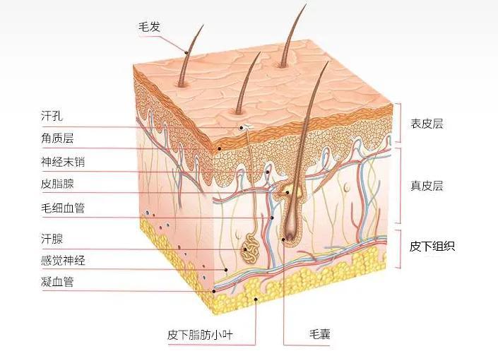 皮肤有哪些功能(皮肤有哪些生理功能)插图4