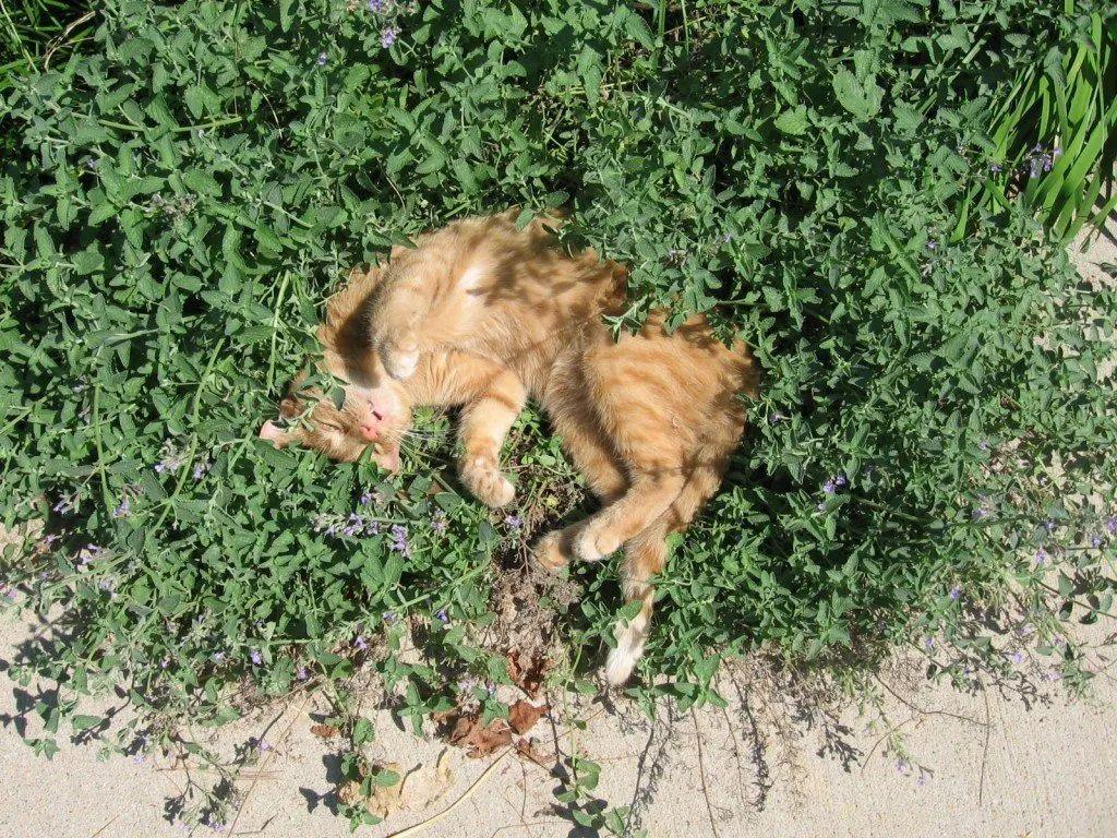 让猫欲罢不能的猫薄荷,到底对猫主子做了什么?