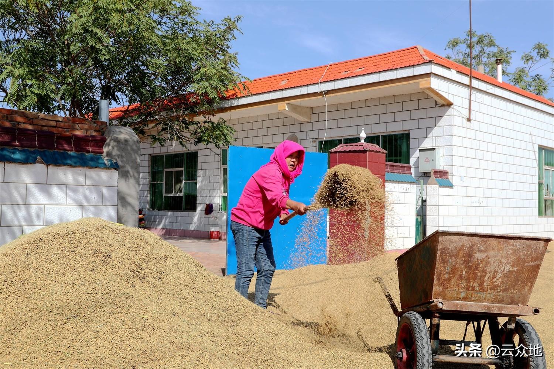 今年稻谷粒重、品质稍好于去年,为何稻谷价格反而降了?