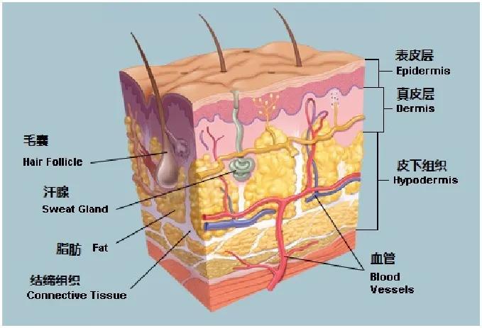 皮肤有哪些功能(皮肤有哪些生理功能)插图1