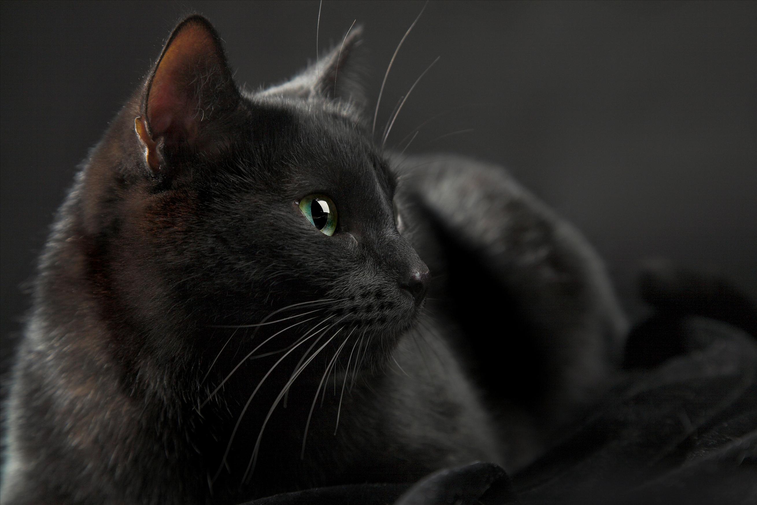 就看看,不养!黑猫招邪还是辟邪?来看看世界各地关于黑猫的说法能有多离谱